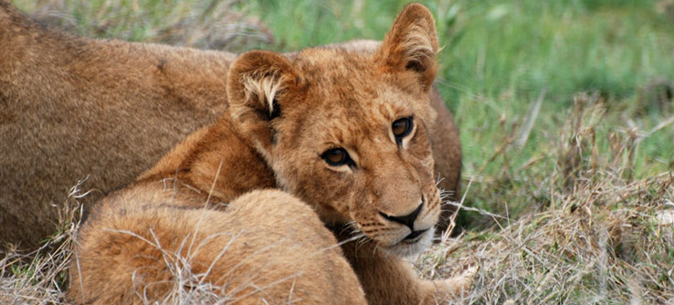 Help protect lions in Botswana.