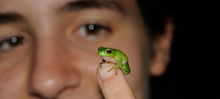 Leaf green tree frog in Australia