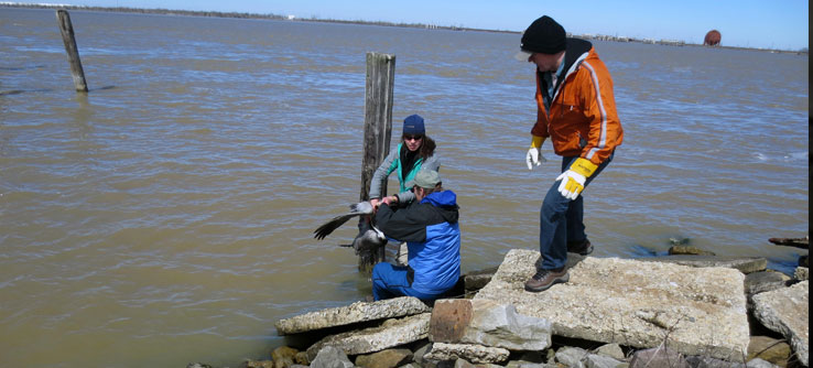 Researcher Hannah Uher-Koch leads a pelican capture.