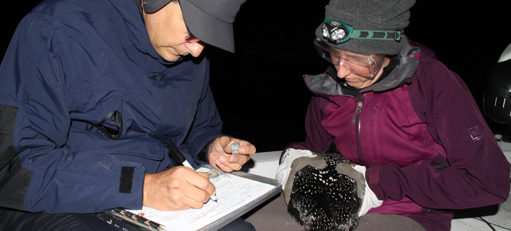 Two team members record data on a loon before banding it.