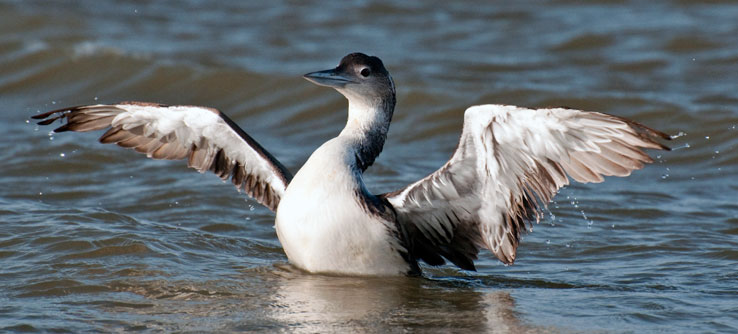 A loon displays its plumage.