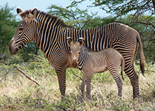 Adult zebra with foal, Samburu, Kenya