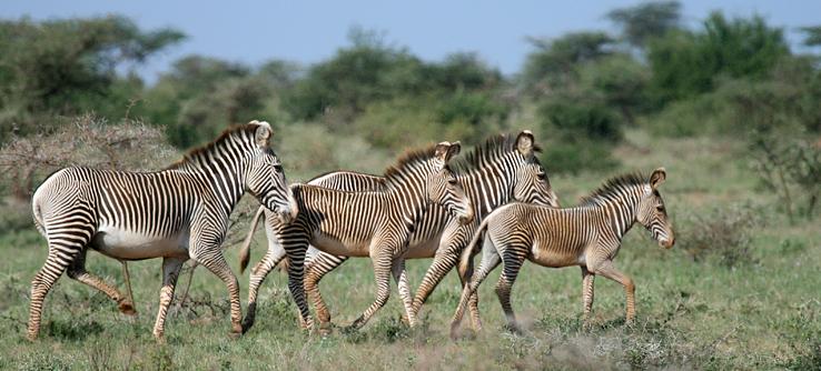 Zebras, Samburu, Kenya
