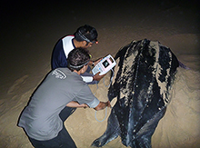 Ultrasounding a female leatherback turtle. Taken by Franzi Jonzen.