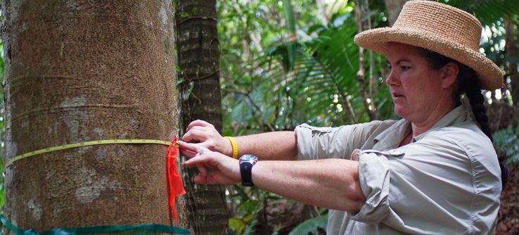 Volunteer measuring tree in Puerto Rico rainforest