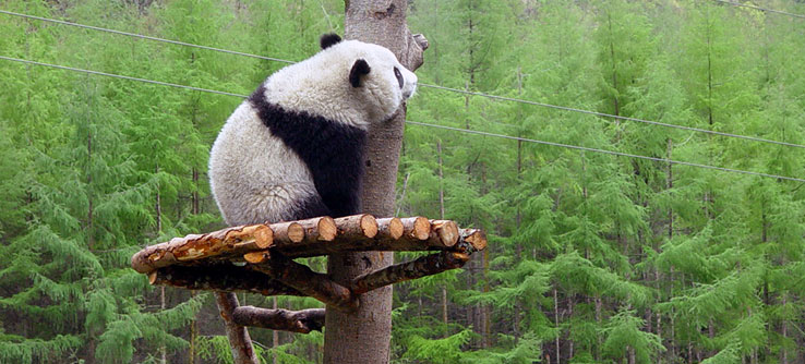 A panda climbs around the Wolong National Nature Reserve in Chengdu.
