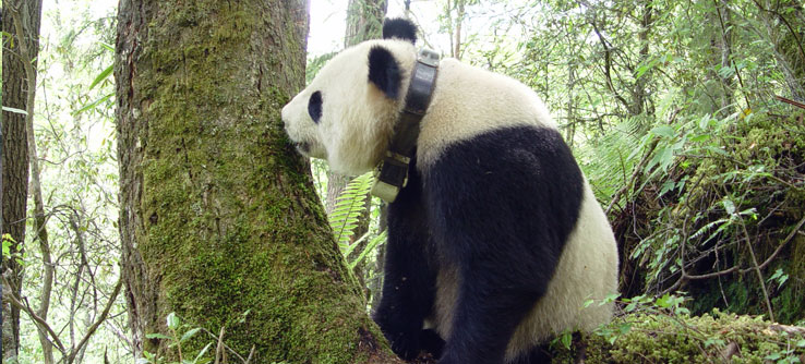 A panda in training for release to the wild with a radio-tracking collar.