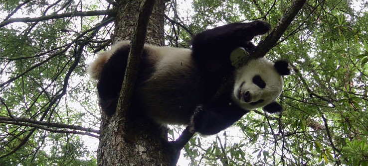 More than 300 pandas live in captivity around the world.