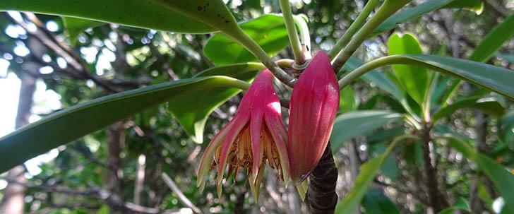 Discover amazing mangrove plants - Bruguiera gymnorhiza (Orange Mangrove)
