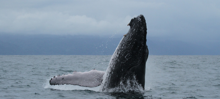 Humpback whale breaching from sea, Golfo Dulce, Costa Rica