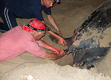 Turtle conservation work,