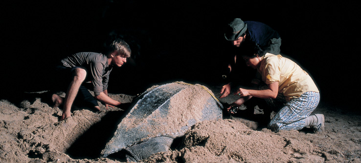 Earthwatch volunteers with leatherback turtle laying eggs