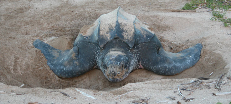 Earthwatch Expeditions: Costa Rican Sea Turtles