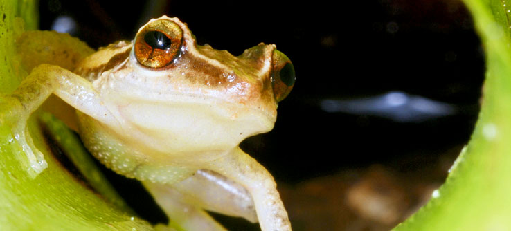 A coqui frog, one of Puerto Rico's most well-known forest dwellers.