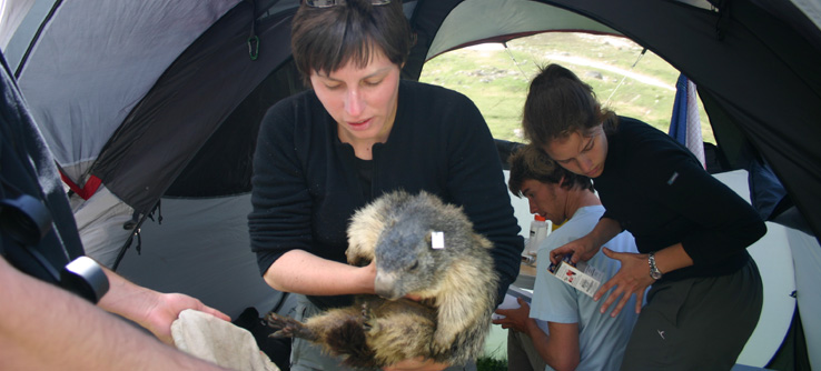 Scientist recording the biometric measurements of a marmot