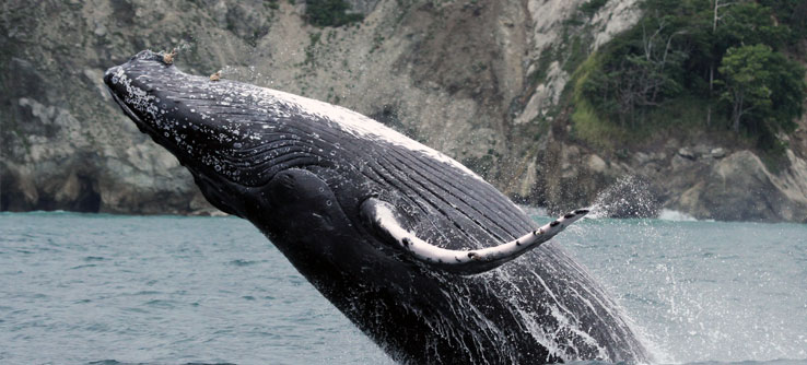 Humpback whales inhabit Golfo Dulce from August through mid-October.
