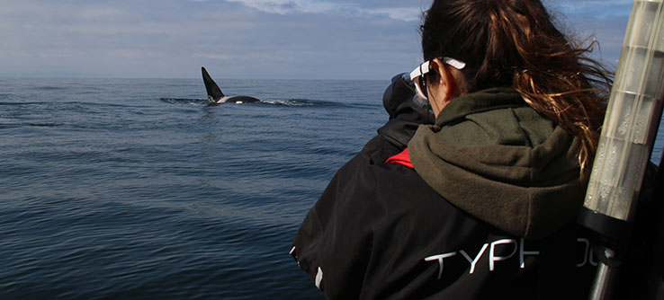 On boats, you will help scientists to track and record the behavior of individual killer whales.