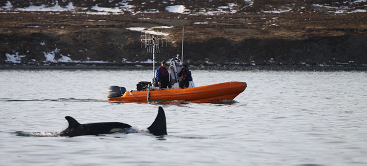 This is the first long-term study to look at the diet of killer whales in Iceland.