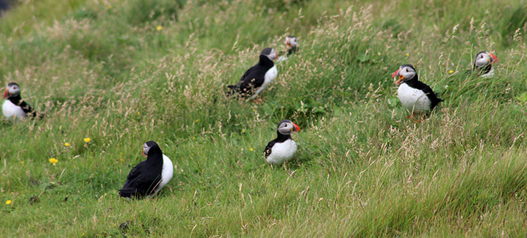 The most iconic symbol of the Westman islands is the puffin.
