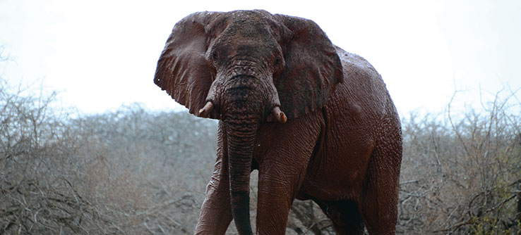 Elephants can damage farmers' crops in Kenya, resulting in human-elephant conflict.