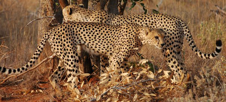 The Tsavo Conservation Area is home to variety of wildlife, including cheetahs.