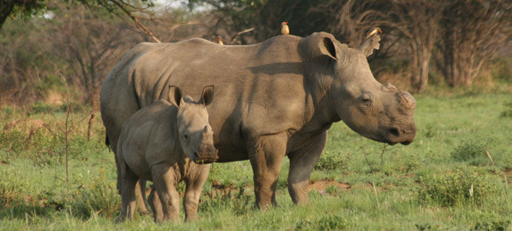 In some areas, rhino horns are removed to prevent poaching.
