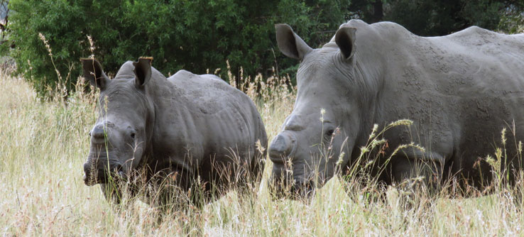 This study will help to see if there are behavior changes between horned and de-horned rhinos.