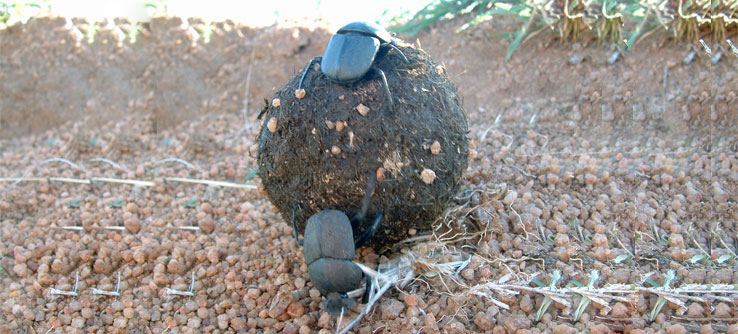 Dung beetles provide an important indication of the health of mammal populations.