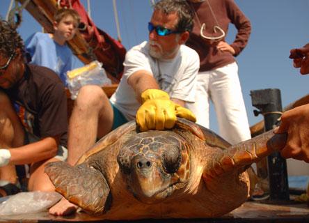 Dr. Scott Eckert releasing a loggerhead turtle.