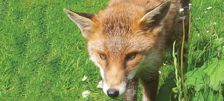 Red foxes tend to stay within stable home ranges.