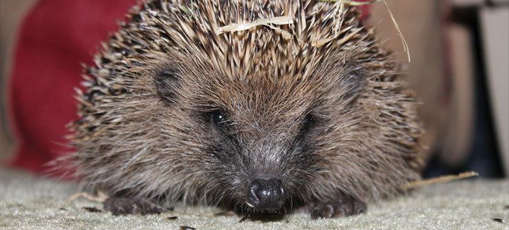 Hedgehogs can be a boon to gardens because they eat slugs.