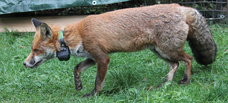 A radio-collared fox. One was tracked 40 miles from its home range.