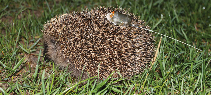 A hedgehog outfitted with radio tracking transmitter.