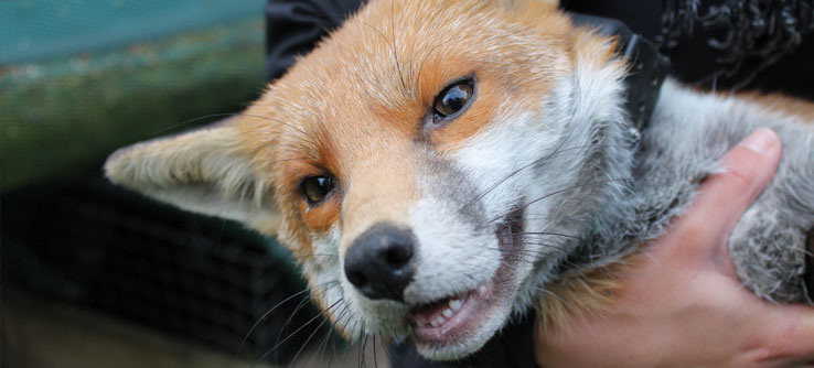 A fox that has just been fitted with a radio collar.