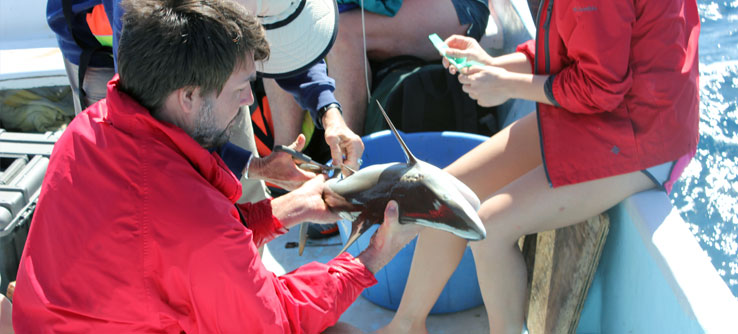 Volunteers take a DNA sample from a young reef shark's fin.