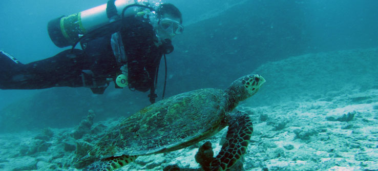 Volunteers see a wealth of wildlife, like this hawksbill sea turtle.