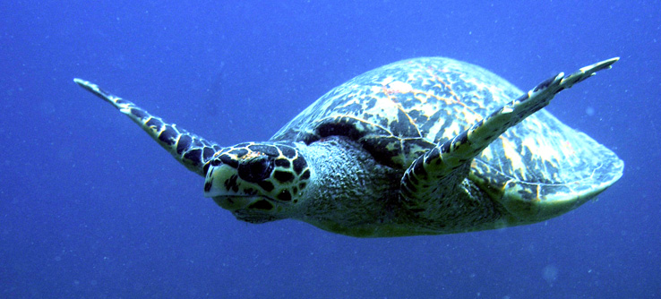 Turtle swimming in Indian Ocean, Seychelles
