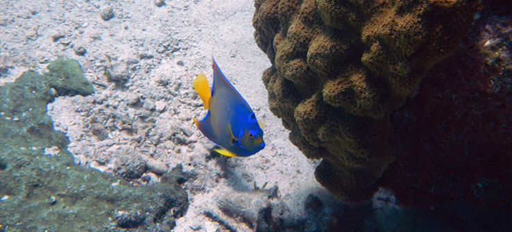 Volunteers count fish like this angelfish.