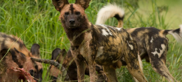 African wild dogs—one of the most endangered large carnivores on the continent.