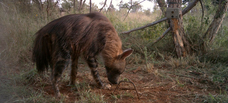 South Africa's Hyenas.