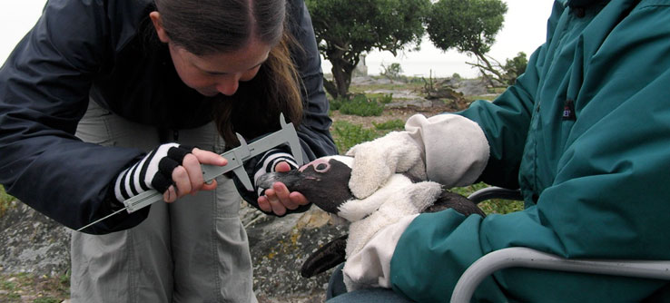 Earthwatch Expeditions: South African Penguins