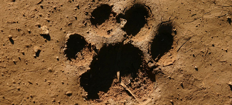 A big cat track in Mankwe Wildlife Reserve.