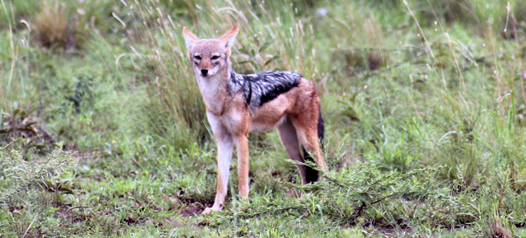 A black-backed jackal in Mankwe Wildlife Reserve.
