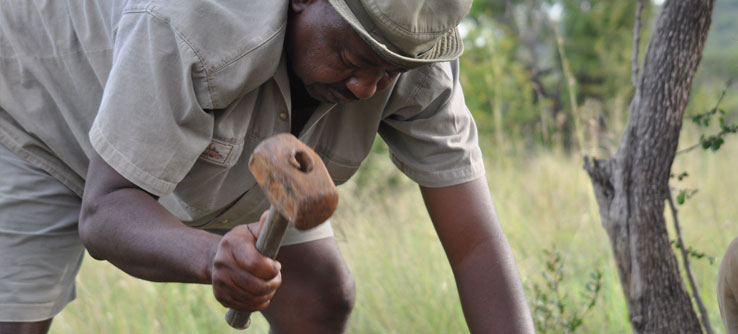 A park guide attaches bait to a stake to attract wildlife.