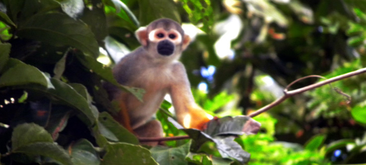 Squirrel monkey spotted in the rainforest.