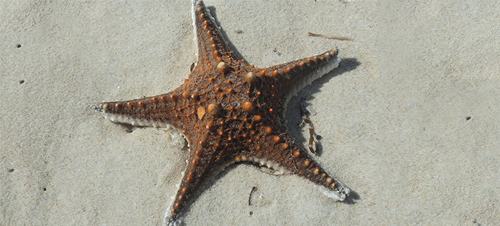 Starfish washed up on the beach in Moreton Bay, Queensland
