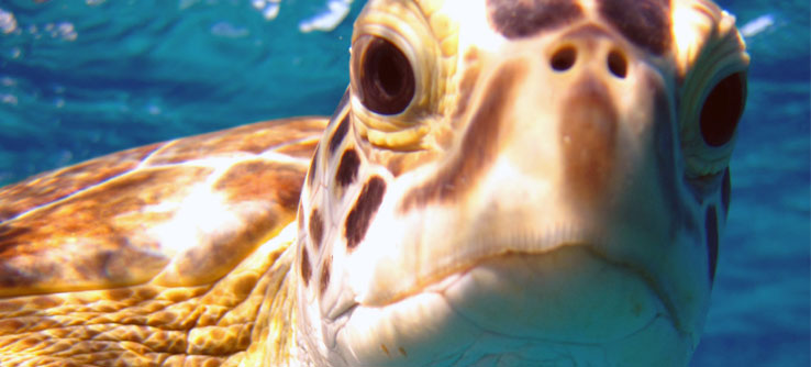 A green sea turtle, one of the focal species of this research.