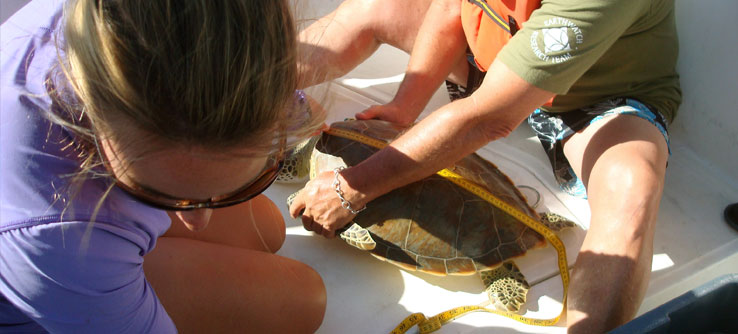 After a turtle is caught, the team measures its shell.