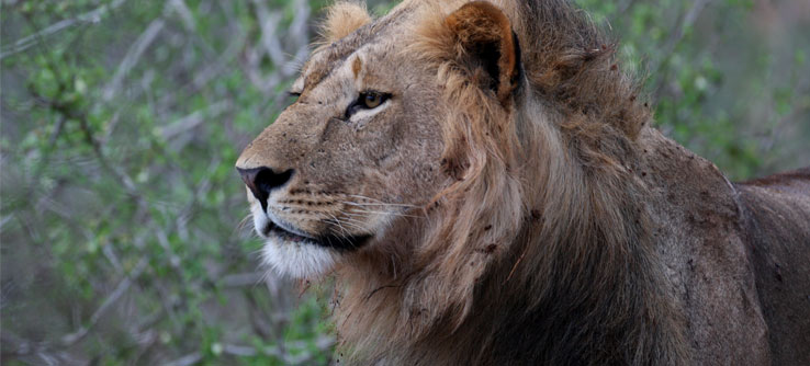 A lion on the tracking predators of the african savannah project