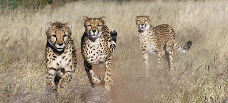 Cheetahs chase prey on the Tracking Predators of the African Savannah